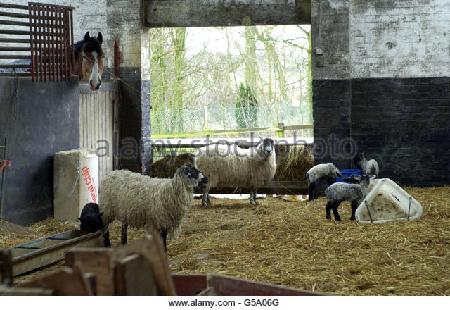 sheep-in-barn-g5a06g
